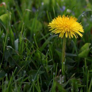 Eat Your Dandelion Greens for Liver Health